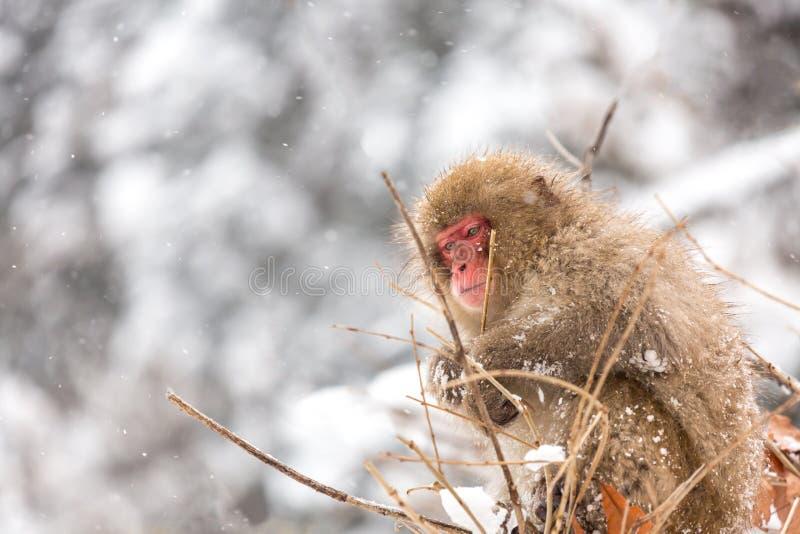Japanese Snow Monkey. At Jigokudani Yudanaka Nagano Japan royalty free stock photo
