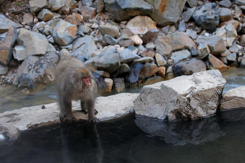 Japanese snow monkey Macaca Fuscata by water pool stock images