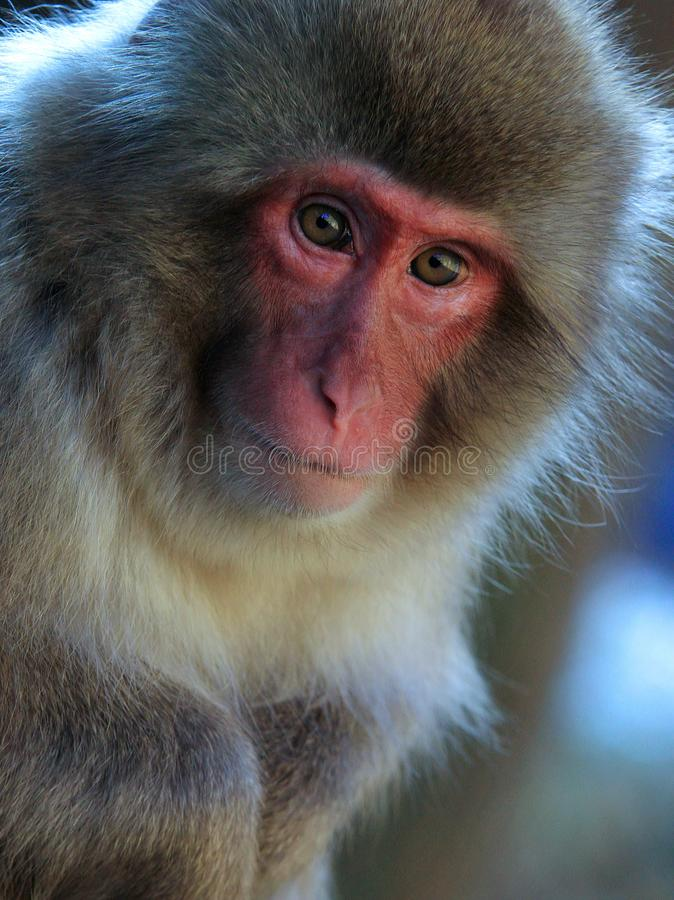 Portrate of japanese snow monkey royalty free stock photography