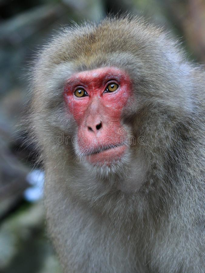 Portrate of japanese snow monkey royalty free stock image