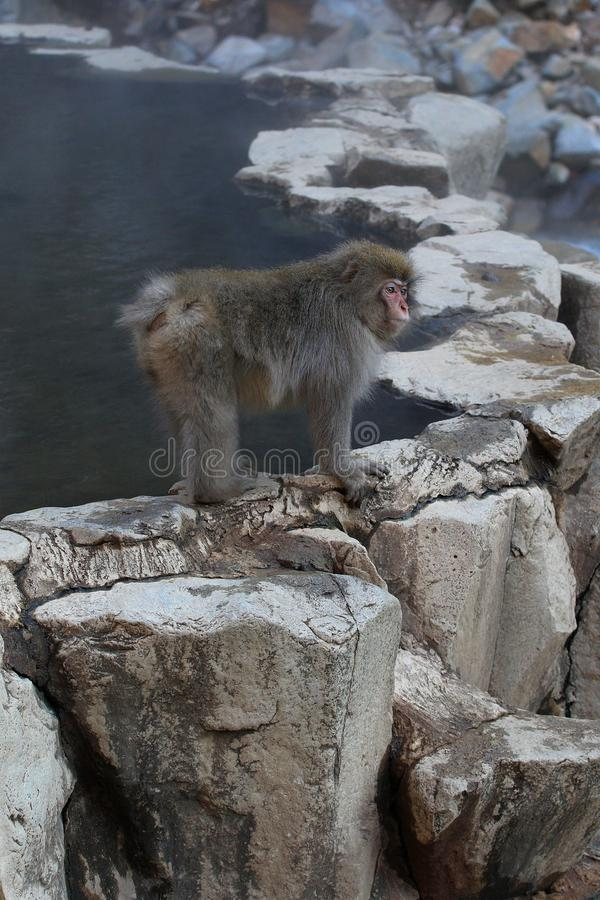 Japanese snow monkey Macaca Fuscata by water pool royalty free stock photography