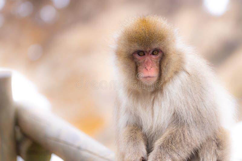 Japanese Snow monkey stock image