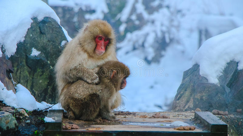 Japanese Snow monkey Macaque in hot spring Onsen Jigokudan Park, Nakano, Japan stock images