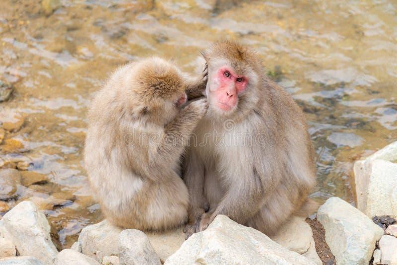 Japanese Snow monkey stock photography