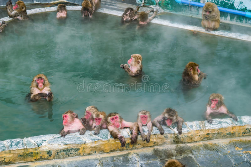 Japanese Snow monkey Macaque in hot spring On-sen , Hakodate, Japan royalty free stock photography