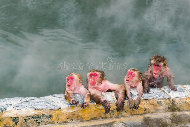 Japanese Snow monkey Macaque in hot spring On-sen , Hakodate, Japan. Japanese Snow monkey Macaque in hot spring On-sen , Hakodate, Hokkaido Japan stock image
