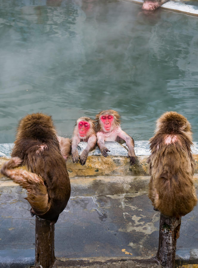 Japanese Snow monkey Macaque in hot spring On-sen , Hakodate, Japan. Japanese Snow monkey Macaque in hot spring On-sen , Hakodate, Hokkaido Japan royalty free stock photo