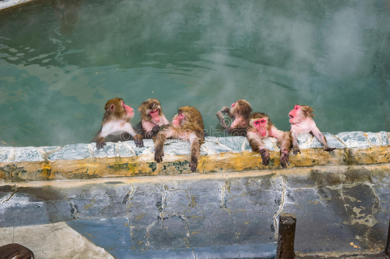 Japanese Snow monkey Macaque in hot spring On-sen , Hakodate, Japan. Japanese Snow monkey Macaque in hot spring On-sen , Hakodate, Hokkaido Japan stock photography