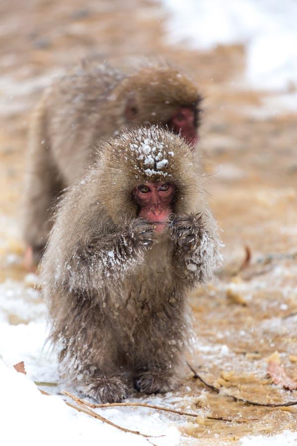 Japanese Snow Monkey Macaque. At Jigokudani Yudanaka Nagano Japan stock photo