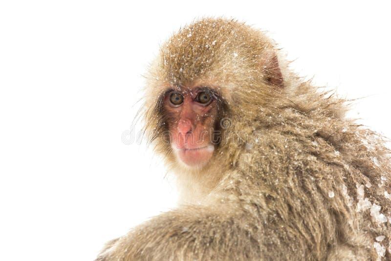 Japanese Snow Monkey. Macaque at Jigokudani Yudanaka Nagano Japan royalty free stock photography