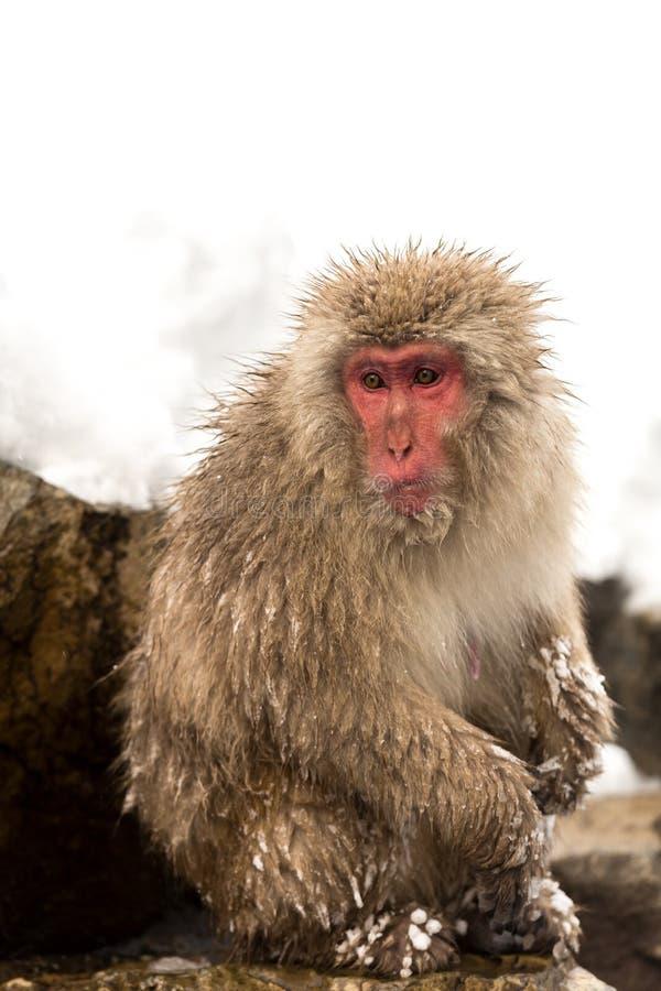 Japanese Snow Monkey. Macaque at Jigokudani Yudanaka Nagano Japan stock images