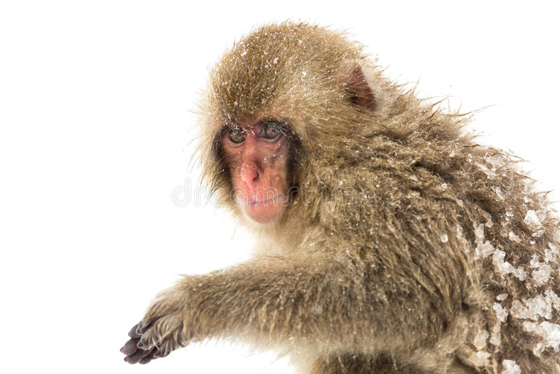 Japanese Snow Monkey royalty free stock images