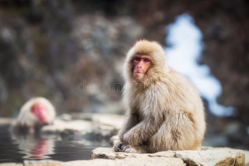 Japanese Snow monkey near hot spring. Portrait of Japanese Snow monkey Macaque sit near hot spring pond of Jigokudani Park at winter, Yamanouchi, Nagano, Japan royalty free stock photography