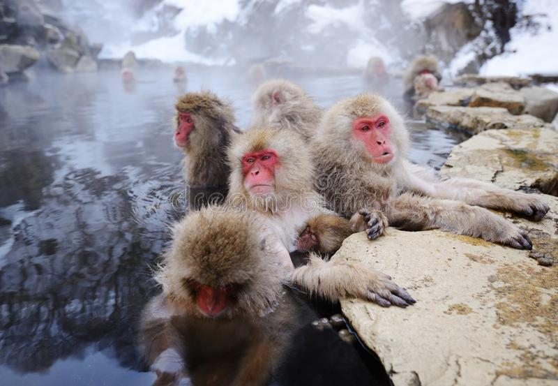 Japanese Snow Monkeys. Relax in a hot spring in Nagano, Japan royalty free stock photography