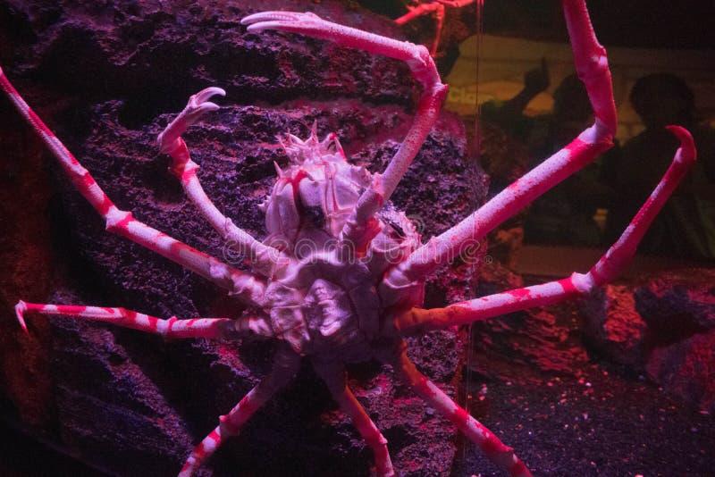 Japanese Spider Crab clawing a water tank in aquarium. At Bangkok royalty free stock photos