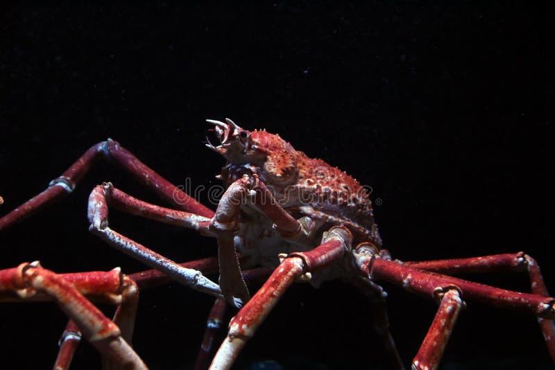Japanese spider crab. (Macrocheira kaempferi) on a aquarium stock photography