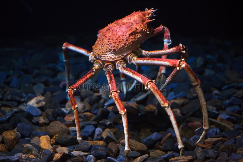 Japanese spider crab Macrocheira kaempferi. Also known as the giant spider crab royalty free stock photo