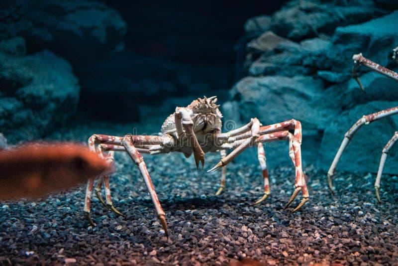 Japanese spider crab  at Osaka Aquarium Kaiyukan, Japan.  royalty free stock images