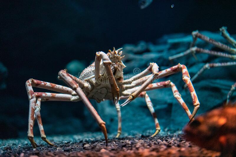 Japanese spider crab  at Osaka Aquarium Kaiyukan, Japan.  royalty free stock image