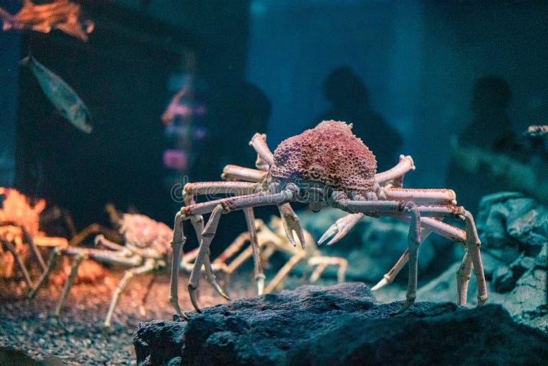 Japanese spider crab  at Osaka Aquarium Kaiyukan, Japan.  royalty free stock photos