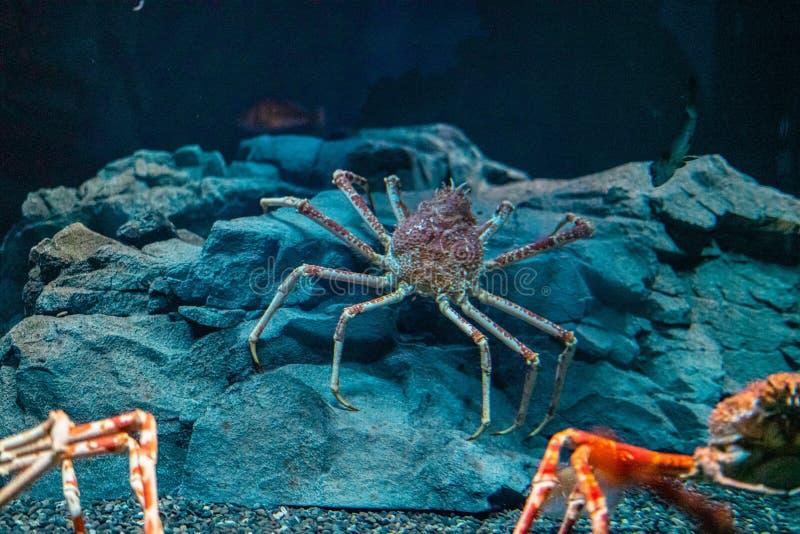 Japanese spider crab  at Osaka Aquarium Kaiyukan, Japan.  stock image