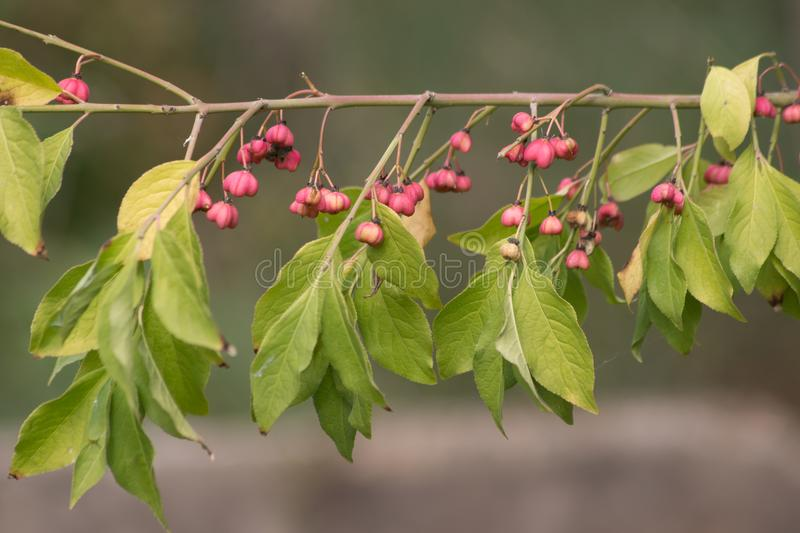 Japanese spindle Euonymus japonicus. stock images