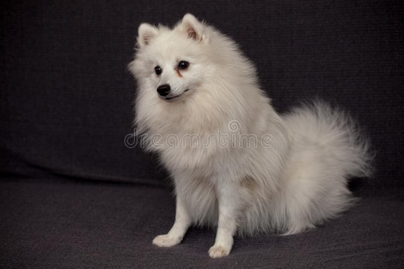 The Japanese Spitz stock photos