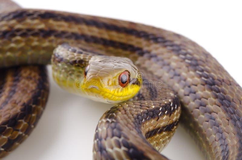Download Japanese Striped Snake Royalty Free Stock Image - Image: 26476456