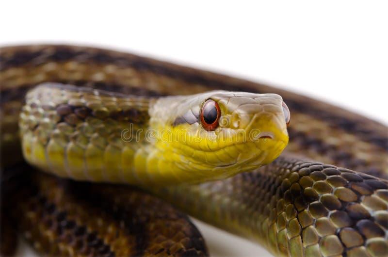 Download Japanese striped snake stock image. Image of crawler - 26476463