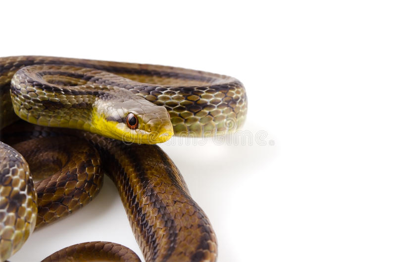Download Japanese striped snake stock image. Image of scale, prepared - 26476469
