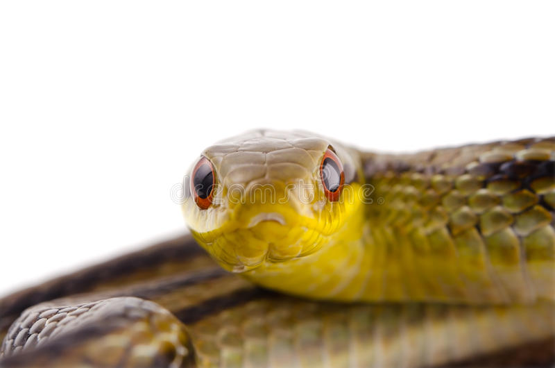 Download Japanese striped snake stock photo. Image of life, wild - 26476480