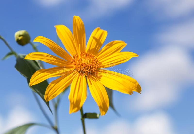 Japanese sunflower or mexican sunflower weed blooming on blue sky background royalty free stock image