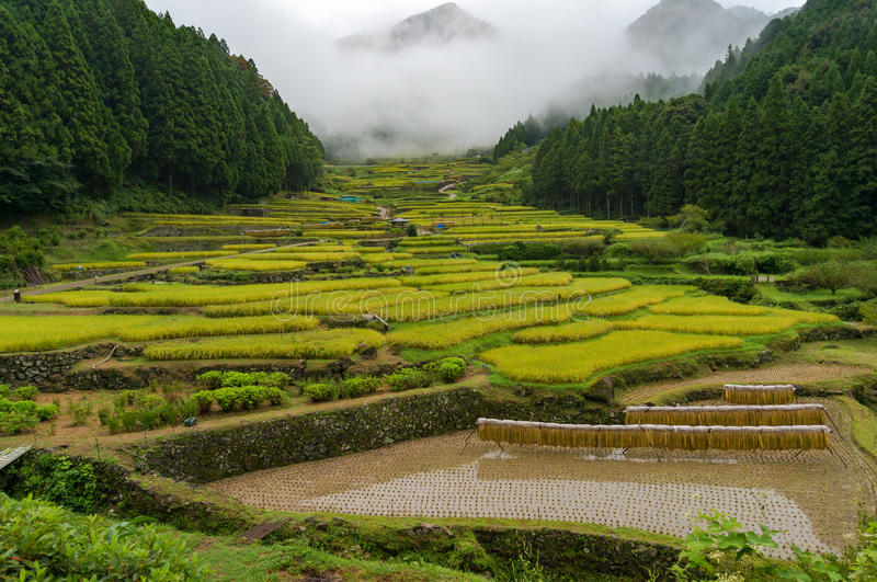 Japanese traditional agriculture landscape of terrace rice paddy. On overcast day with mountains in fog on the background stock photos