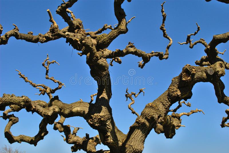 Japanese Tree - Crown in Winter. Against clear, blue sky on a sunny day royalty free stock images