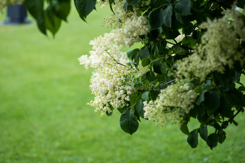 Japanese tree lilac flowers. Closeup of Japanese tree lilac, Syringa reticulata flowers and leaves in the summertime stock photos