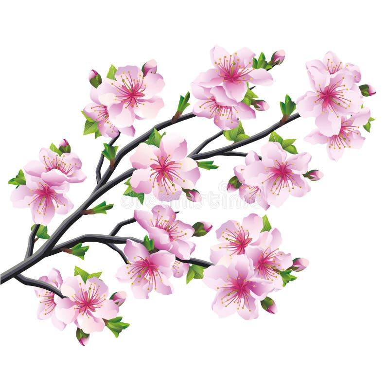 Japanese tree sakura, cherry blossom isolated. Japanese tree sakura, pink cherry blossom isolated on white background. Vector illustration