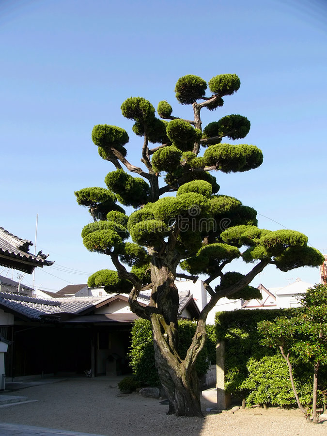 Japanese tree on the temple backyard stock images