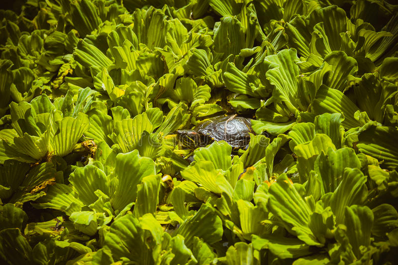 Japanese turtle peeking from leaves royalty free stock image