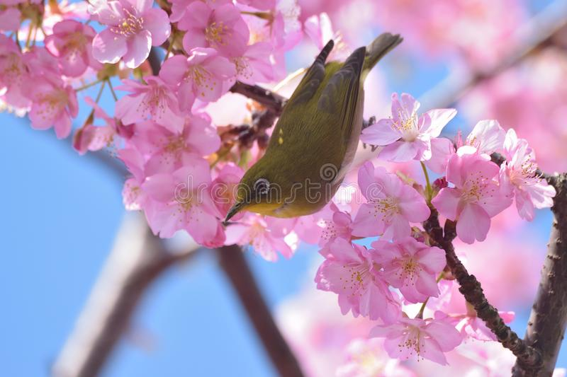 Japanese White Eye Bird on blooming Pink Cherry blossom tree royalty free stock image