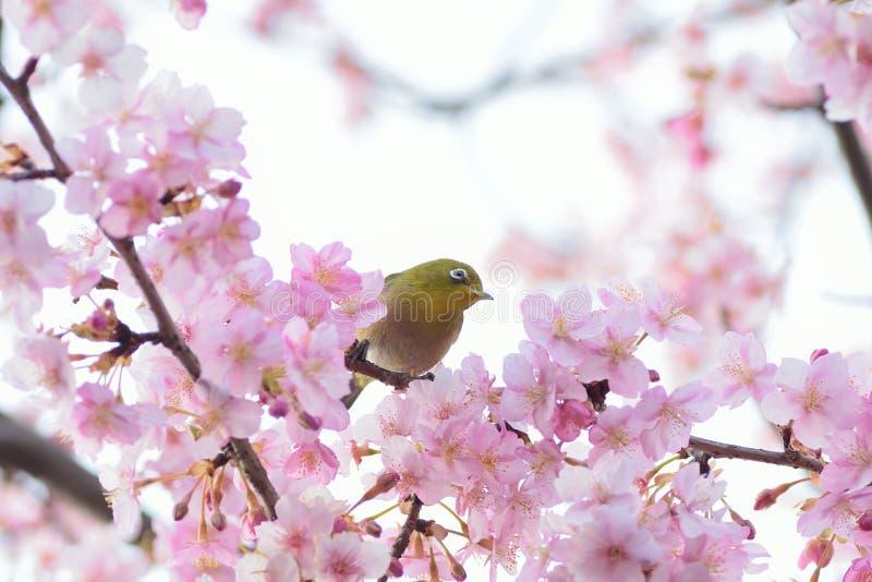 Japanese White Eye Bird on blooming Pink Cherry blossom tree. Japanese White Eye Mejiro Bird on blooming Pink Cherry blossom tree stock images