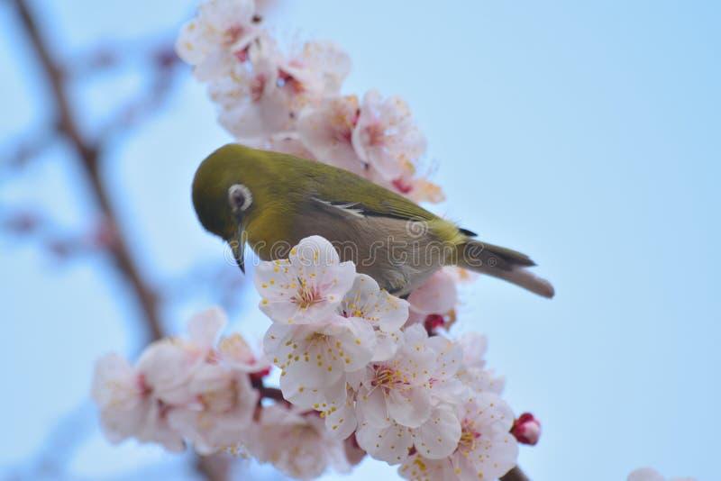 Japanese White Eye Bird on blooming White Plum blossom tree. Japanese White Eye Mejiro Bird on blooming White Plum blossom tree stock images
