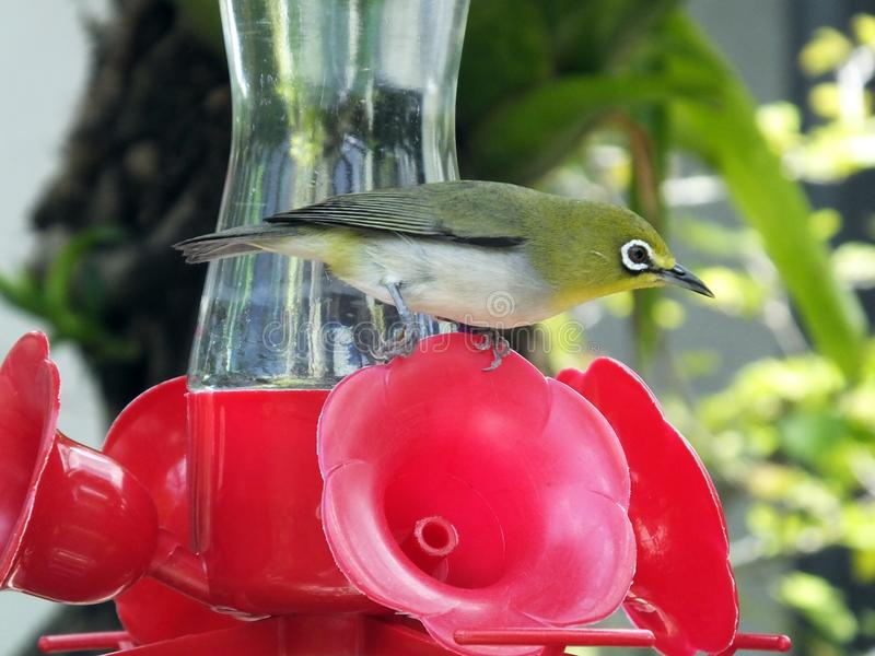 Japanese white-eye or Zosterops japonicus. Japanese white-eye on a bird feeder stock photography