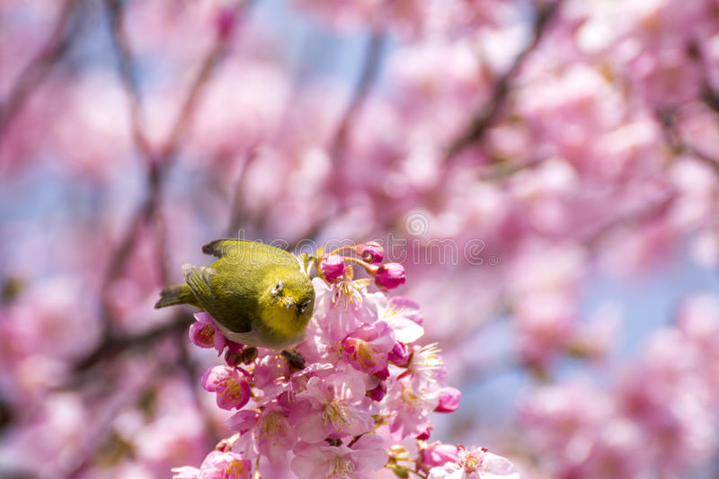 Japanese white-eye bird. Front facing of japanese white-eye bird (Zosterops japonicus) on cherry blossoms in early spring stock image