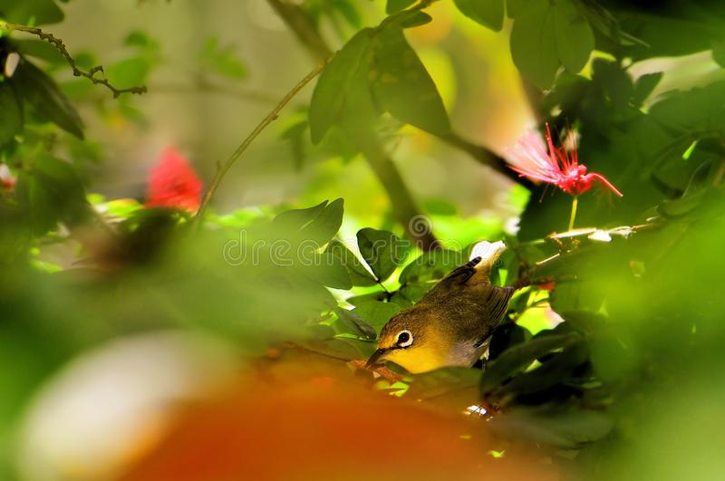 Japanese white-eye bird (mejiro) stock photography