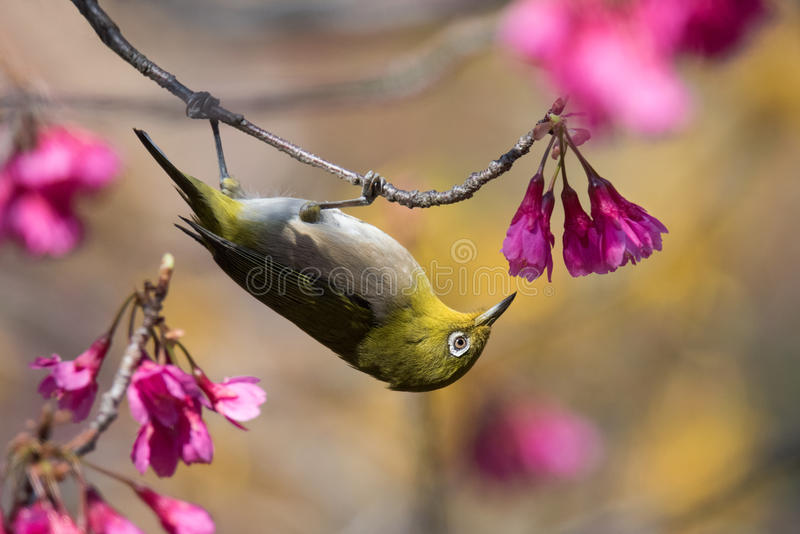 Japanese White-Eye Bird In Pink And Yellow Flowers. A Japanese White-eye, or mejiro, forages in some spring flowers near Kitanomaru Park in Tokyo, Japan stock photography