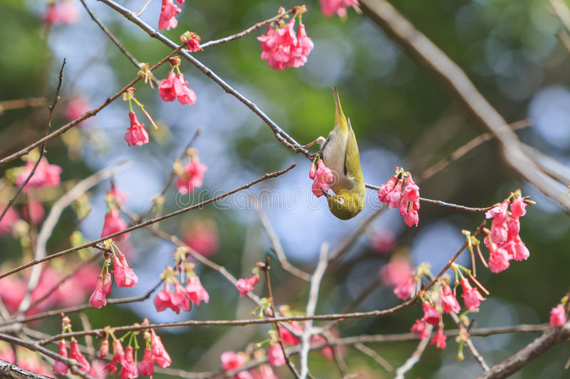 Japanese white-eye and cherry blossom. Taiwan royalty free stock image