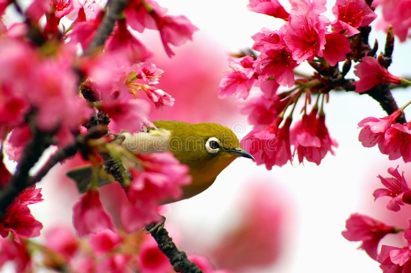 Japanese White Eye on a Cherry Blossom Tree. Nectar Okinawa Japan stock photos