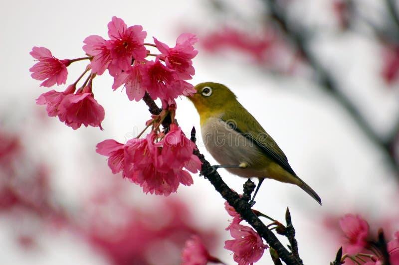 Japanese White Eye on a Cherry Blossom Tree stock image