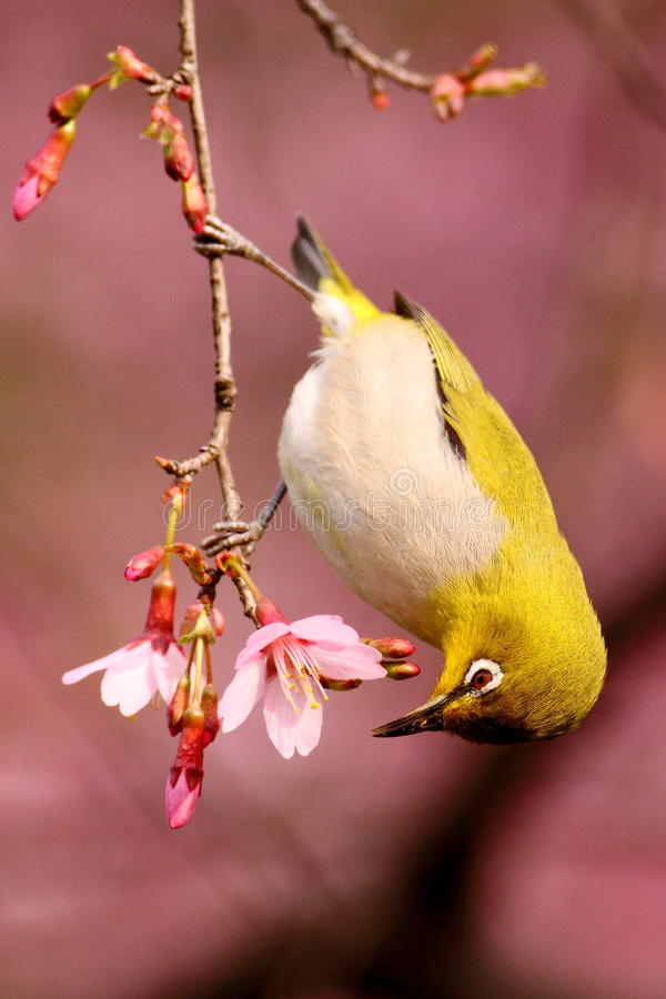 Japanese White Eye on a Cherry Blossom Tree royalty free stock images