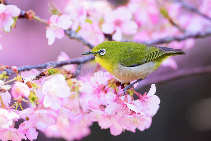Japanese White Eye. And cherry blossoms royalty free stock photography